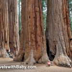 The beloved Parker Group of giant sequoia trees