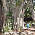 A banyan tree in Maui