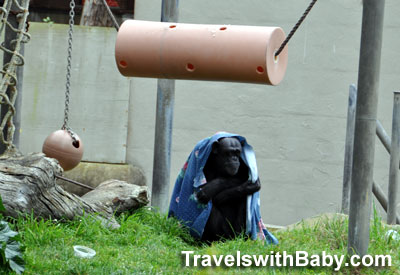 A chimpanzee hudddles to keep warm with his blanket at San Francisco Zoo.