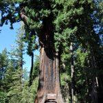 The Chandelier drive-thru tree in Northern California