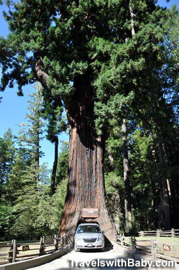 The Chandelier drive-thru tree in Northern California
