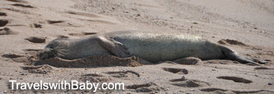 Harbor seal sleeping on the beach at Salt Pond Park, Kauai