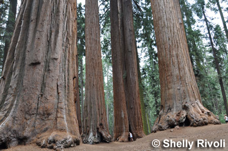 The Parker Group of sequoias at Sequoia National Park