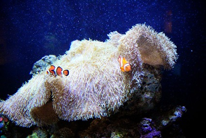 Clownfish at Seattle Aquarium. Photo credit: Keryn Means