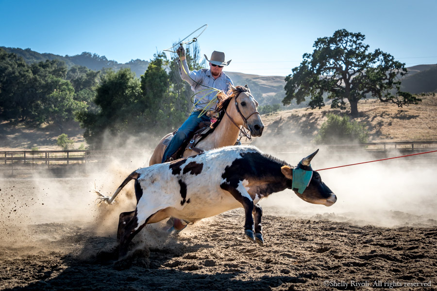 male wrangler or cowboy prepares to lasso a calf in team roping event at rodeo