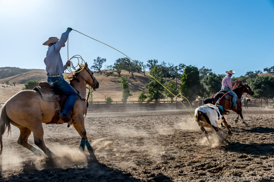 Rider ropes a calf in team riding event at rodeo